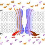 ナトリウムポンプ、すべての細胞ではNa+/K+濃度の維持に、合成したATPの30%(ニューロンでは70%)を消費する
