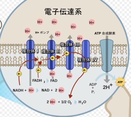 細胞のエネルギー源~ATPの合成~電子伝達系~電子水 │ レイラボ株式会社 ...